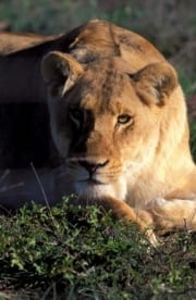 Resting Female lion (00010870)