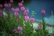 Fireweed in the katmai backcountry (00001430)