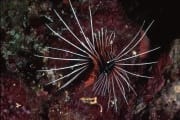 Clearfin lionfish (00000808)