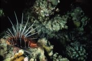Clearfin lionfish (00000815)