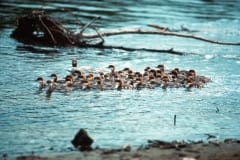Goosander formation at the waterfall