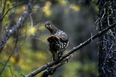 Spruce Grouse collects beeries