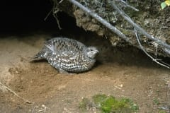 Spruce Grouse on the ground