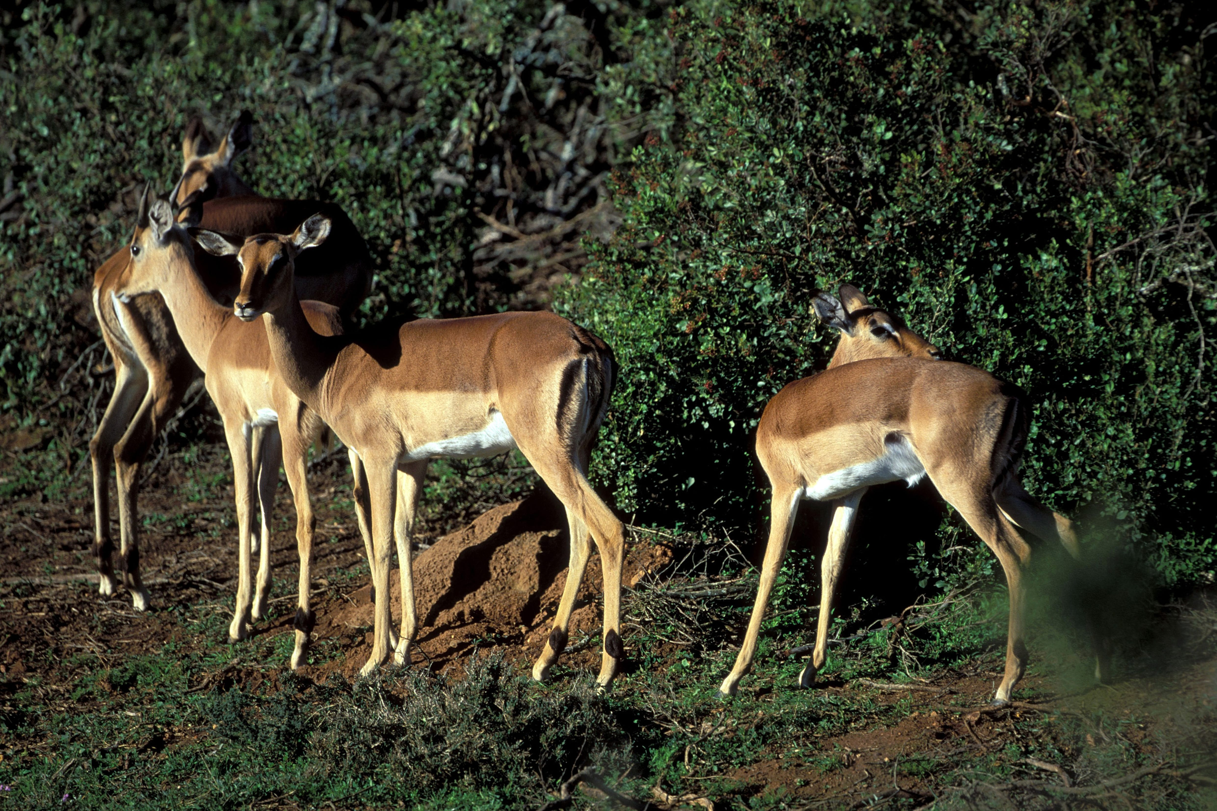 Impalas in the afternoon light (00010974)