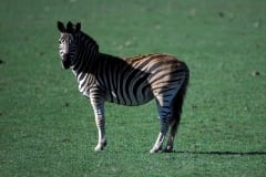 Zebra standing in the meadow (00010975)