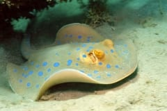 Imposing Bluespotted ribbontail stingray
