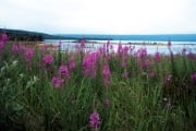 Fireweed in the Brooks River area