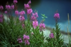 Fireweed in the katmai backcountry