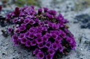Purple saxifrage on Cape Ann (00020429)