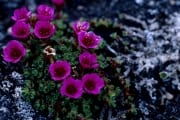 Purple saxifrage on Cape Ann (00020431)
