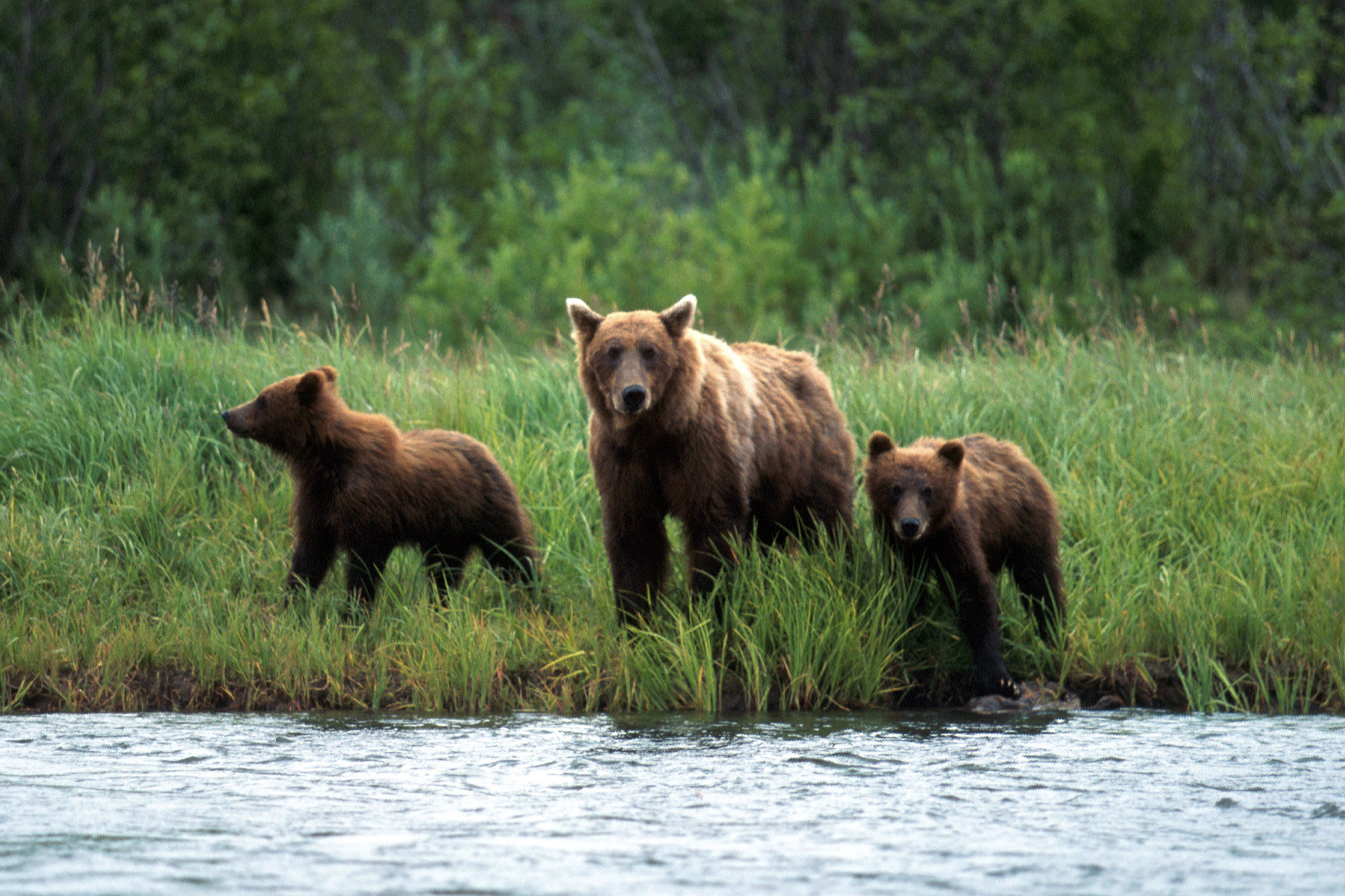 Sow with her cubs travelling along the River