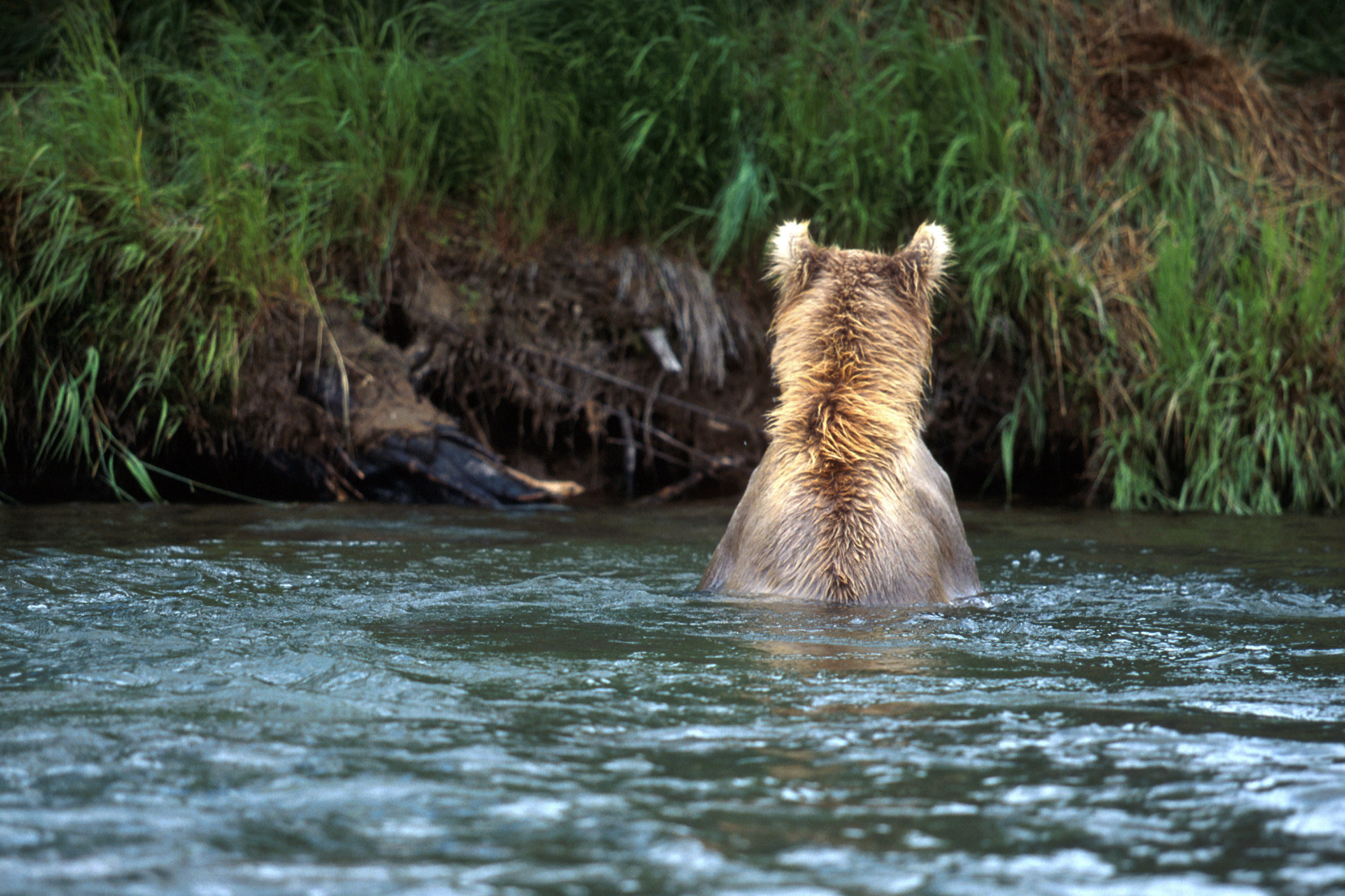 Brown Bear jumps after a salmon