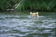 Brown bear with salmon fishing in the river (00000027)