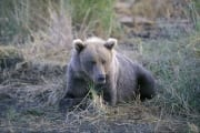 Brown Bear has a rest (00000034)