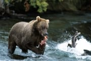 The she-bear has caught a salmon at the waterfall (00000935)