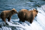 Brown bears fishing for salmon at the waterfall (00000937)