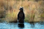 Brown Bear Standing Upright in Brooks River (00001046)