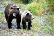 Sow with young Bear at the river bank (00001055)