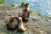 Bear family has a rest on the River bank (00001071)