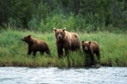 Sow with her cubs travelling along the River (00001251)
