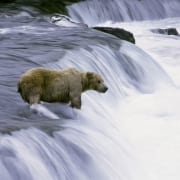 Brown Bear fishing for salmon at the waterfall (00090003)