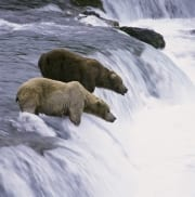 Brown bears on salmon fishing at the waterfall (00090005)