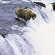 Brown Bear fishing for salmon at the waterfall (00090006)