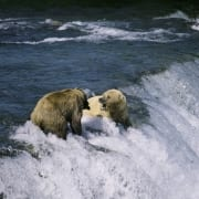 Brown bears fishing for salmon at the waterfall (00090010)