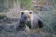 Brown Bear has a rest
