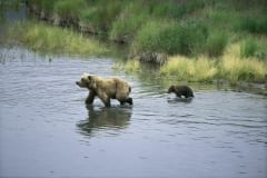 Sow with her cub crosses River