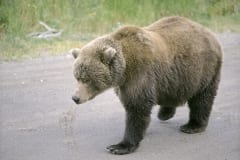 Brown bear on the way to the river