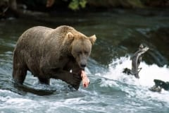 The she-bear has caught a salmon at the waterfall