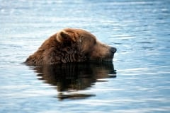 Brown Bear fishing for salmon in the river