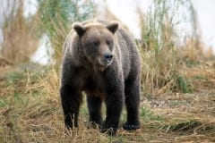 Brown Bear travelling along the river bank