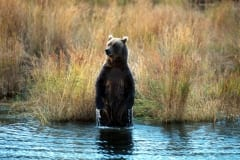 Brown Bear Standing Upright in Brooks River