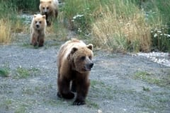 Bear family travelling along the river bank