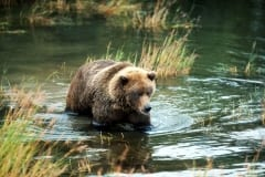 Young Brown bear traveling along the riverbank