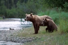 Sow with her cub travelling along the River