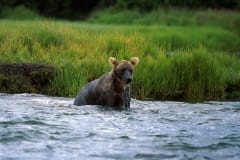 Brown Bear has discovered a salmon