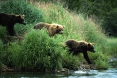 Brown bears traveling along the River Bank
