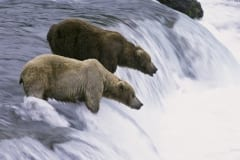 Brown bears on salmon fishing at the waterfall