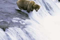 Brown Bear fishing for salmon at the waterfall
