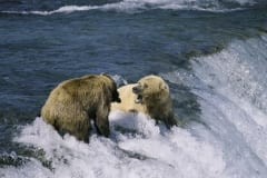 Brown bears fishing for salmon at the waterfall