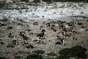African Penguin colony (00000547)