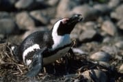 Brillenpinguin/Jackass penguin (00000589)