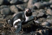 Brillenpinguin/Jackass penguin (00000590)