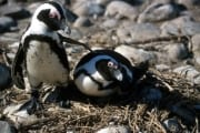 African penguins (00000604)