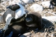 Brillenpinguin/Jackass penguin (00000606)