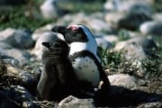 African penguin family (00000607)