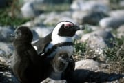 Brillenpinguin/Jackass penguin (00000611)
